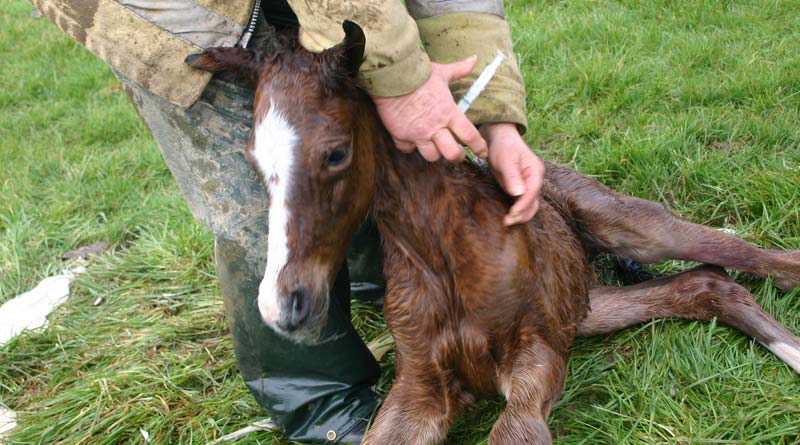 foal-vaccinate-injection-800-445