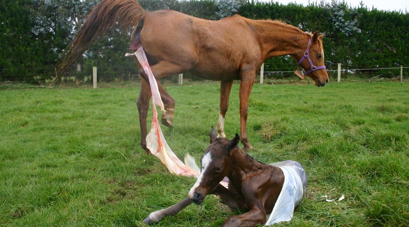 Inflammation of the womb lining is a common cause of infertility in mares.