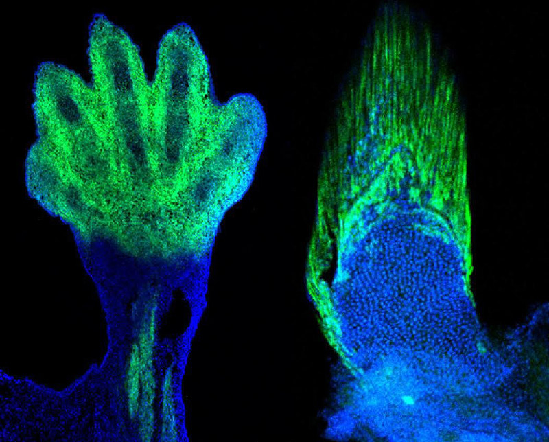 Markers of the wrists and digits in the limb of a mouse, left, are present in fish and demarcate the fin rays, right. The wrist and digits of tetrapods are the cellular and genetic equivalents of the fin rays of fish. Photo: Andrew Gehrke and Marie Kmita