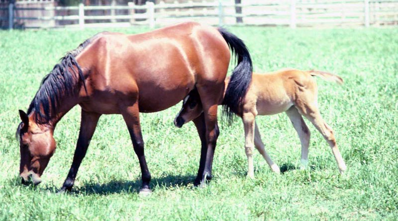 mare-foal-stock