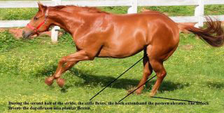 During the second half of the stride, the stifle and the hock extends and the pastern elevates.