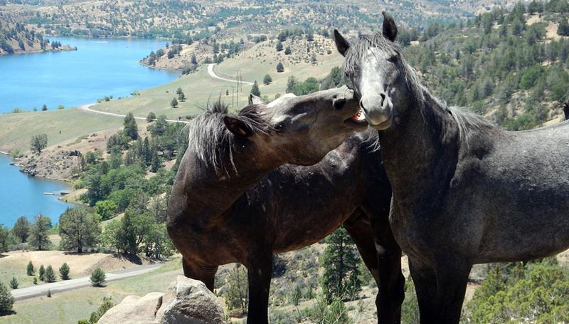 Wild horses Smokey, left, and Slater, part of Wildhorse Ranch's bachelor band.