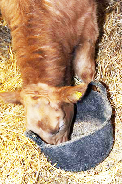 Sharing buckets between horses and cattle can carry cross-contamination risks if the equines have been dosed with phenylbutazone.