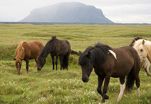 Icelandic ponies graze in Iceland. Photo: Thomas Quine (originally posted to Flickr as Icelandic ponies) CC BY-SA 2.0 via Wikimedia Commons