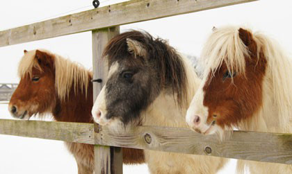 "Redwings adoption ponies ""The Gangsters""."