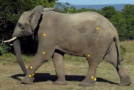 In the elephant kinematics study, self-adhesive retro-reflective markers were attached at ten anatomical locations.