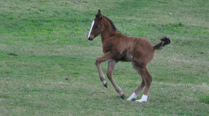 Research at Texas A&M University points to some foals having a genetic vulnerability which puts them at greater risk of pneumonia.