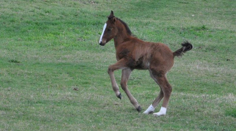foal-800