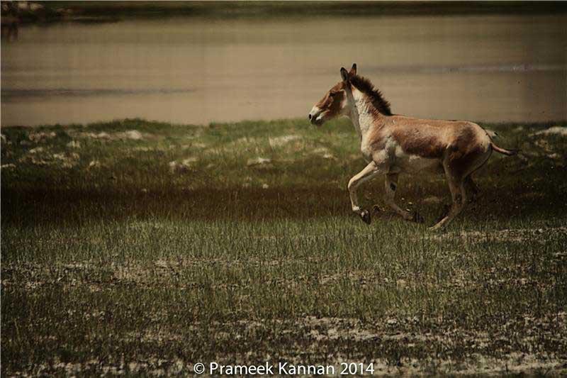 tibetan-wild-asses-2