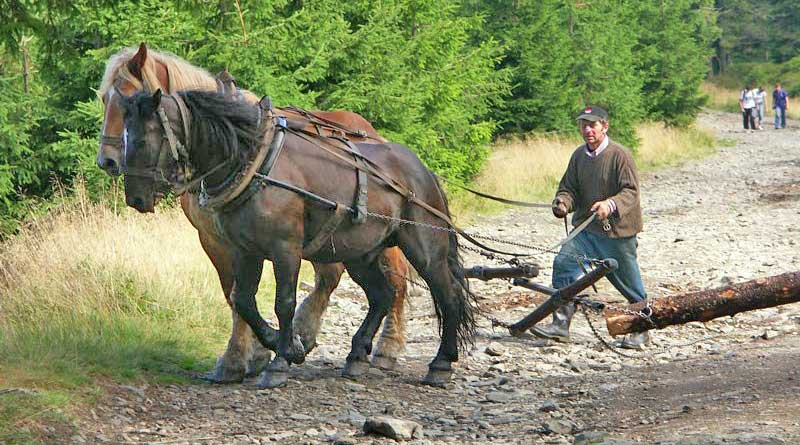 Horses haul a log-rolling in woods in the Śnieżnik Mountains of Poland. Photo: Marek Tomaszewski, Barlinek (Own work) CC BY-SA 2.5 via Wikimedia Commons