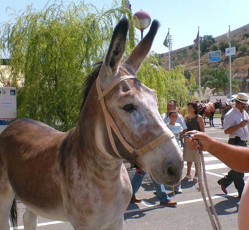An Andalusian donkey. Photo: Iván Salvía (based on copyright claims), via Wikimedia Commons