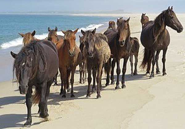 Could a growing seal population be contributing to the prosperity of Sable Island's iconic horses? Photo: University of Saskatchewan