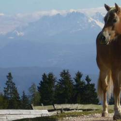A Haflinger horse in South Tyrol, northern Italy. Some Haflinger horses carry a gene that makes them more susceptible to a form of eye cancer. American researchers have developed a screening test for the gene.