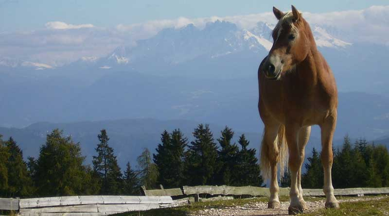 A Haflinger horse in South Tyrol, northern Italy. Some Haflinger horses carry a gene that makes them more susceptible to a form of eye cancer. American researchers have developed a screening test for the gene. Photo: Jon Shave CC BY 2.0, via Wikimedia Commons