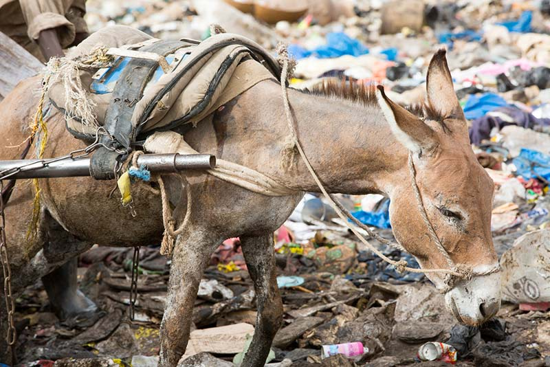 A working donkey in Mali.