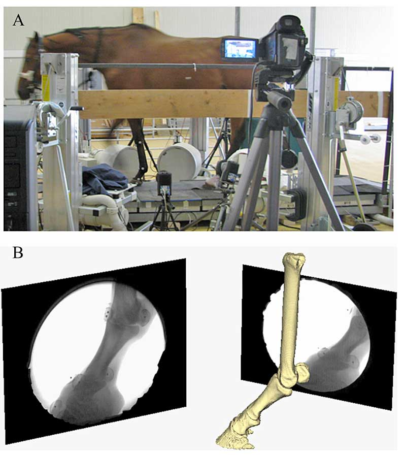 "Images of the experimental and virtual set-up. ""A"" shows the set-up of the horse walking on the custom-made platform retrofitted with a forceplate and surrounded by the bi-planar fluoroscopy system. ""B"" shows the virtual setup of the horse's right forefoot based on the experimental alignment of the X-ray sources and the intensifiers. Images in black the frames (right and left) illustrate the projections of the distal foot from the two X-ray cameras."