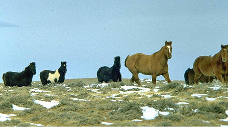 Wild horses in Wyoming. © BLM