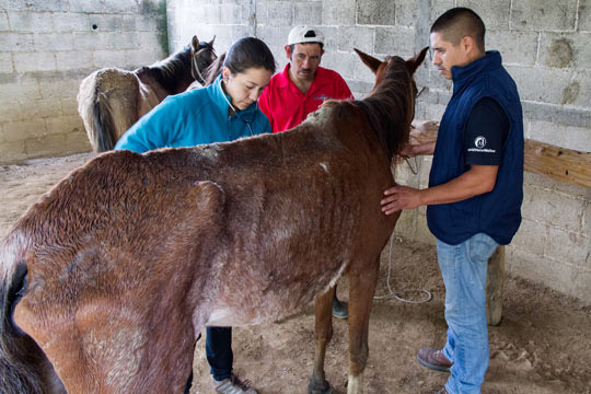 A horse in Guatemala undergoes long overdue veterinary treatment through World Horse Welfare's international projects.