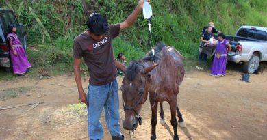 A horse in Costa Rica receiving veterinary treatment.