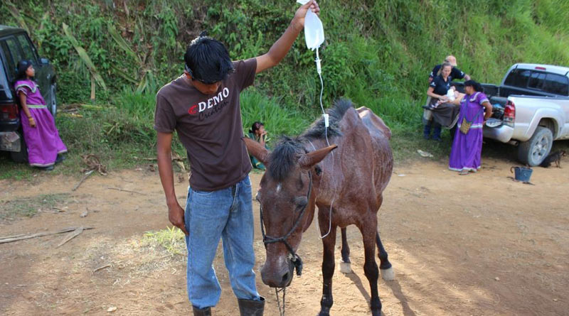 A horse in Costa Rica receiving veterinary treatment.