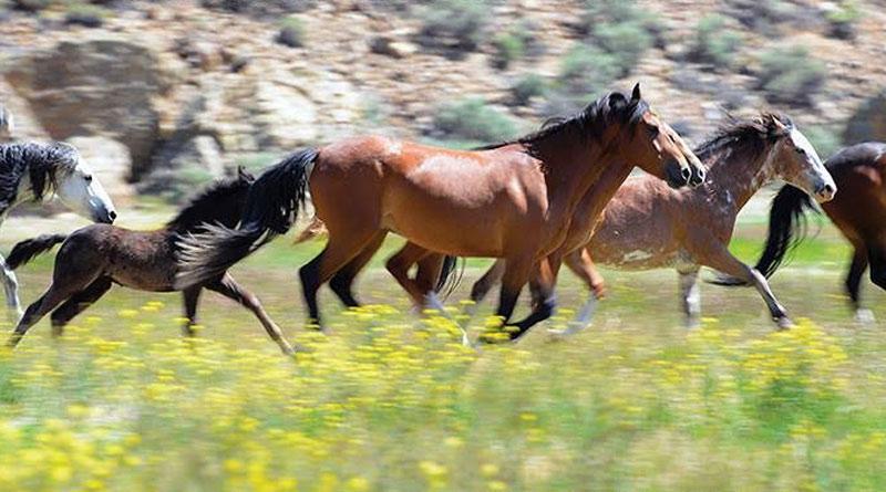 Challis Wild Horses in the Central Idaho high desert.