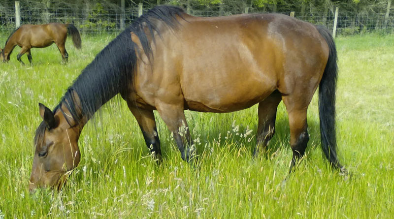 """Free webinar: """"Equine Gastric Ulcers: Diagnosis, Treatment, and Management Options"""" is being hosted by board-certified equine internal medicine specialist Dr Phoebe Smith."""
