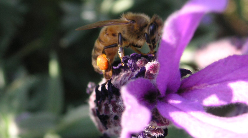 A bee collecting pollen from lavender.
