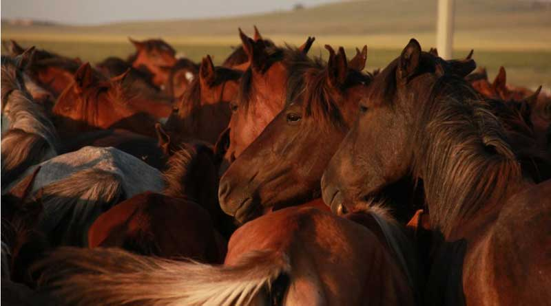 Kazakh horses in North Central Kazakhstan. Photo: Ludovic Orlando, Natural History Museum of Denmark, CNRS.