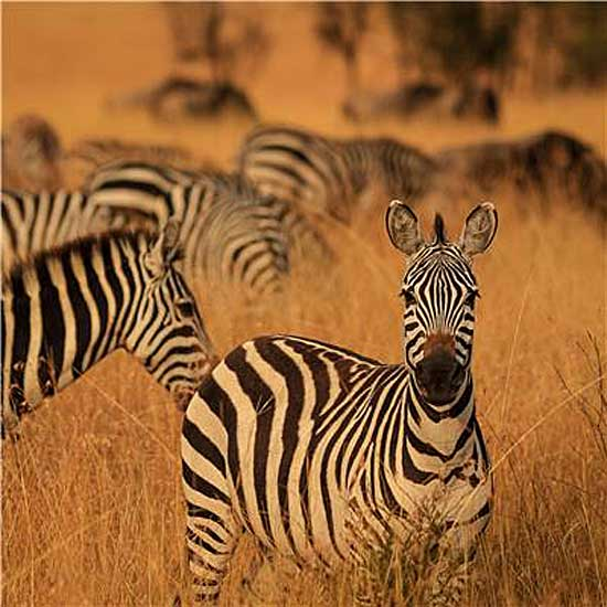 Memory is the key to directing zebra migration, research suggests. Photo: Thomas Mueller