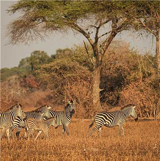 Zebras on the African savannah. Photo: Thomas Mueller