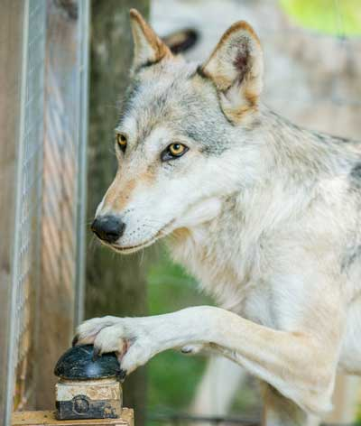 Wolves recognise inequity similar to dogs and exhibit aversion against it. Photo: Rooobert Bayer