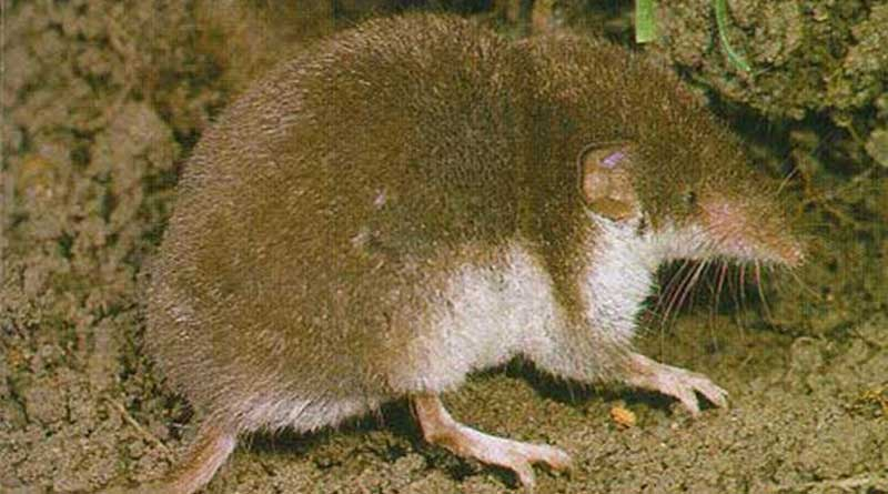 The protected Crocidura leucodon, or bicolored white-toothed shrew, is a known bornavirus carrier. Photo: I, Dodoni CC-BY-SA-3.0 via Wikimedia Commons
