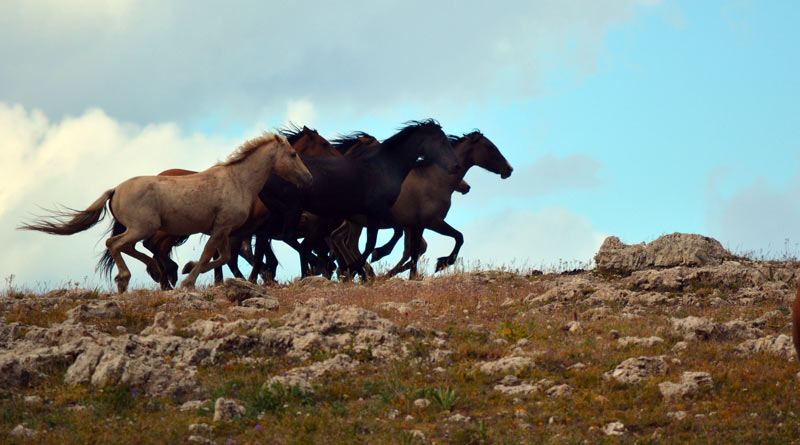 Wild horses in the Pryor Mountains.
