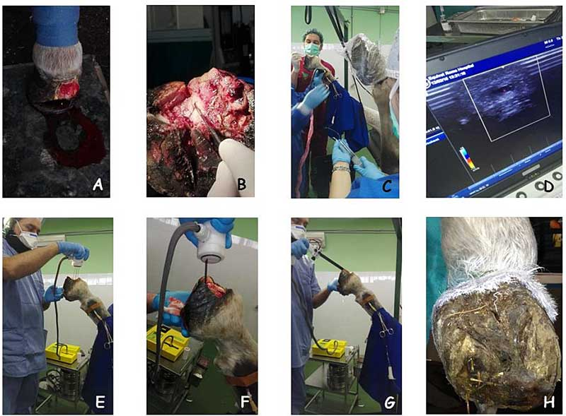 A series of images showing the presentation. A larger version can be opened at the foot of the story. (A): The tumor lesion at presentation. (B): Surgical debulking of the hoof cancer. (C, D): Ultrasound-guided isolated limb perfusion chemotherapy. (E, F, G): Delivery of permeabilizing electric pulses by means of plate and different needle array electrodes (H): The patient one year after the last electrochemotherapy session: there is no gross evidence of cancer disease in the hoof. Images: Spugnini et al. DOI: http://dx.doi.org/10.4314/ovj.v7i2.18