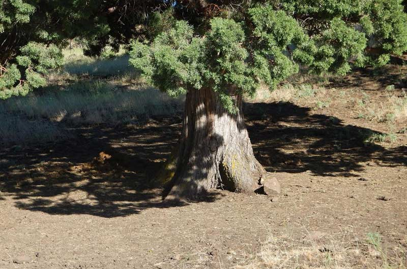 A juniper tree frequented by horses.