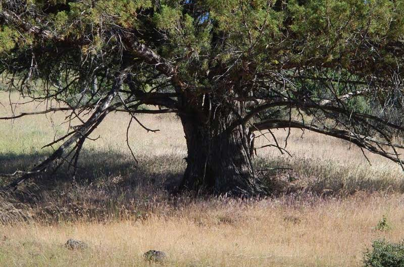 A juniper not frequented by horses has abundant fuel underneath.
