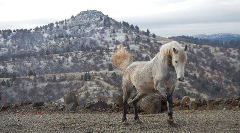 """Two members of the wild Equus caballus herd nigh the Simpson ranch inwards themountains of the Oregon Are sanctuaries an acceptable solution for """"excess"""" wild horses?"""