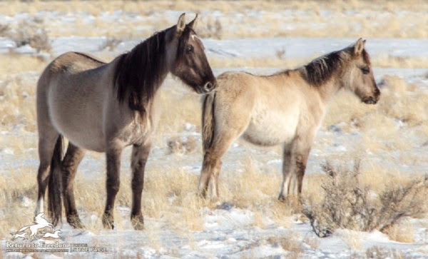 Wild horses at the Sulphur Herd Management Area in Utah before last winter's Bureau of Land Management helicopter roundup there. © Steve Paige.