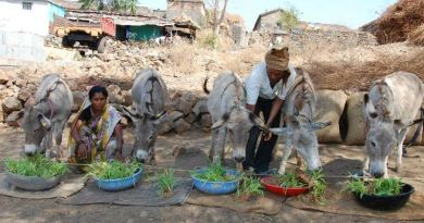 Donkeys in India enjoying maize shoots, through Brooke's Hydroponics Project.