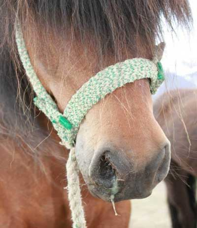 An Icelandic pony showing a nasal discharge.