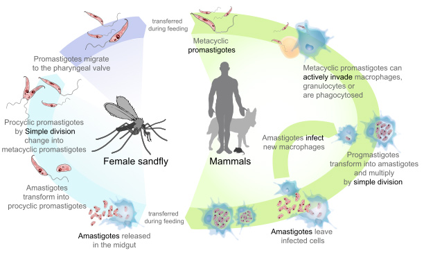 Life cycle of the parasites from the genus Leishmania, the cause of the disease Leishmaniasis.