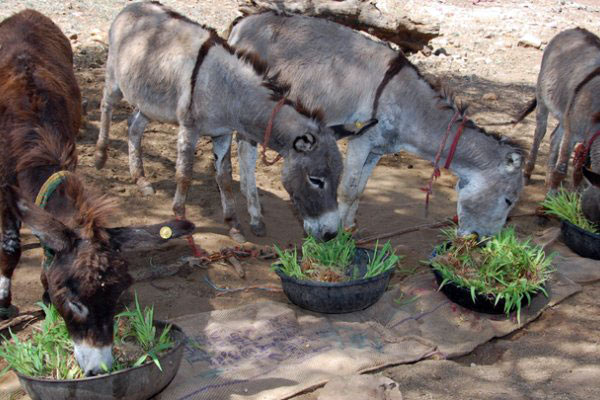 Donkeys eating maize shoots grown by families taking part in Brooke's hydroponics pilot project.