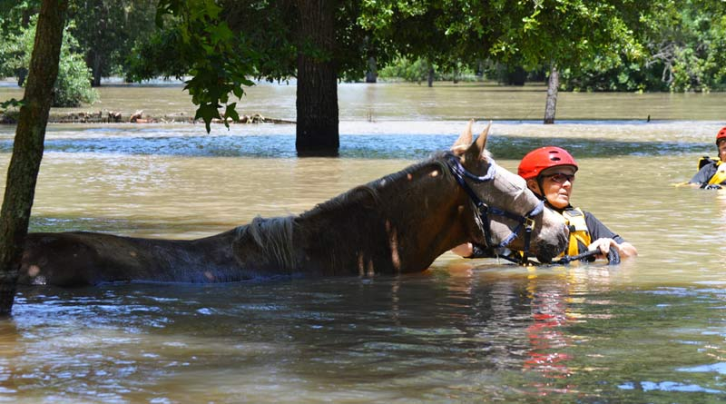 Rescuers have led many horses to safety following Hurricane Harvey.