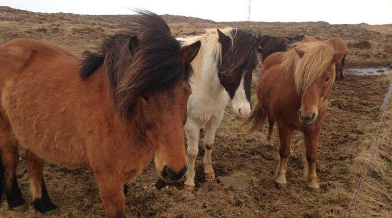 Icelandic Horses in Iceland.
