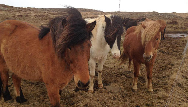 Icelandic Horses inward their native Republic of Iceland Icelandic Equus caballus study: How accurately tin historic menstruum endure estimated from their teeth?