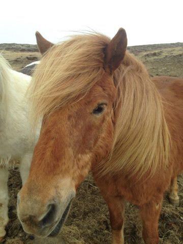 The bacteria that infected Iceland's equine population may have arrived in the country on equipment or even a person, experts say.