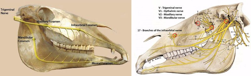 The above illustrations show the complexity of the horse's cranial nerves and location of the maxillary, infraorbital, mandibular and mental foramens of the equine cranium. The complexity and origin of the nerves and foramen illustrate the importance of choosing a style of bridle and properly fitting the bridle so as not to interfere or add excessive force on these nerves – invariably causing pain and/or discomfort. © Anatomy of the Horse: An Illustrated Text by authors Klaus-Dieter Budras, W.O. Sack and Sabine Rock.