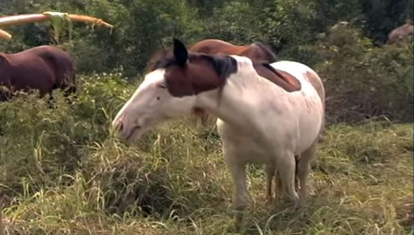 An Abaco Island horse with the splashed white coat color.