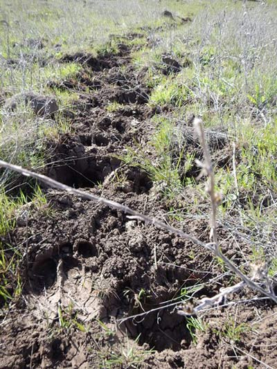 Cattle tracks in a native pasture; above pasture damage is the result of two cows and one calf