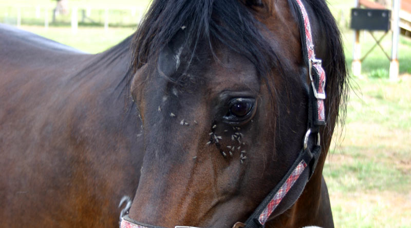 As well as being annoying, flies may also carry other parasites that can infect the horse such as Habronema spp. and Onchocerca cervicalis, which can affect the skin and in extreme cases the eye.